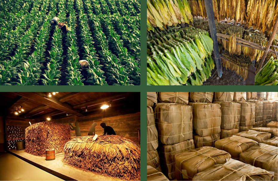 The production of cigars. A long way from the crop to your hands